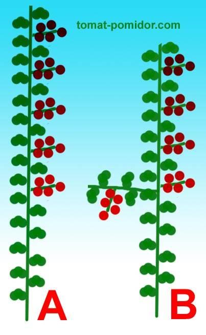 Пасынкуют ли низкорослые помидоры?