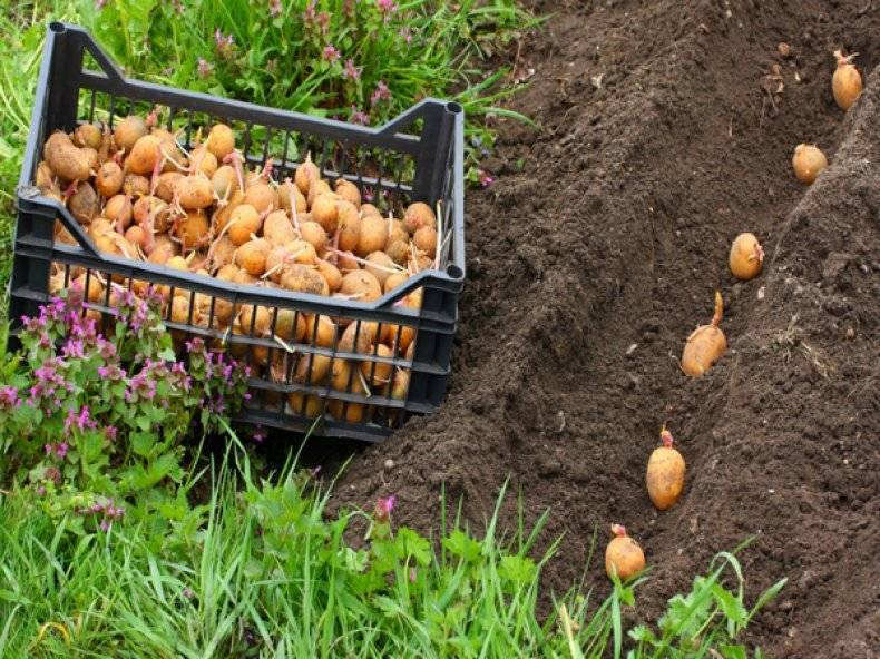 Сорт картофеля «королева анна» – описание и фото