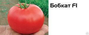 Томат бобкат — урожайный голландский гибрид