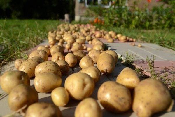 Сорт картофеля молли: описание и характеристика, отзывы