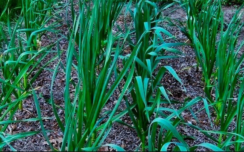 Чем и когда подкормить озимый чеснок весной, посаженный под зиму: чем полить, какие удобрения не стоит применять