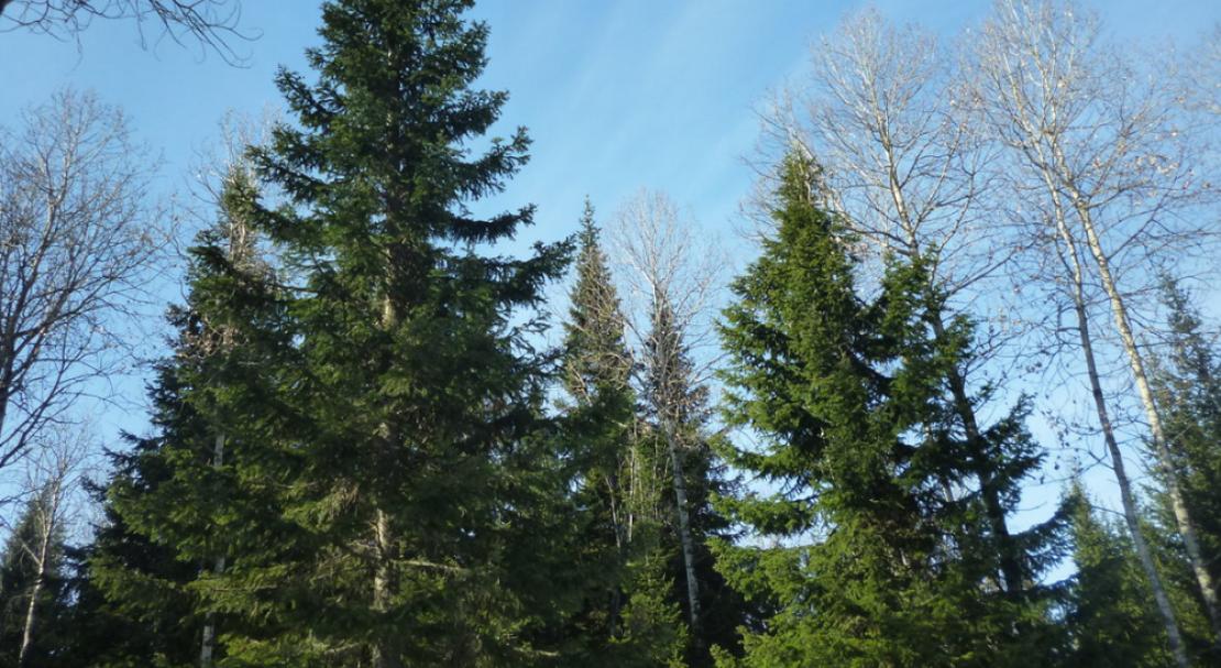 Описание и выращивание лиственницы сибирской