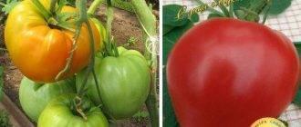 Мясистый сахаристый томат: описание томата, характеристики помидоров