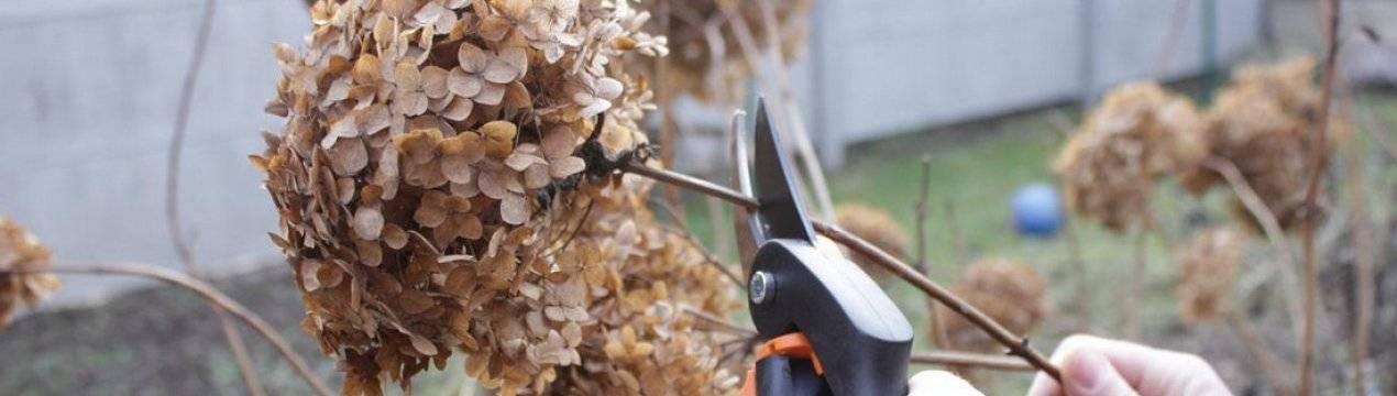 Гортензия не растет: что делать, почему плохо растет гортензия в саду