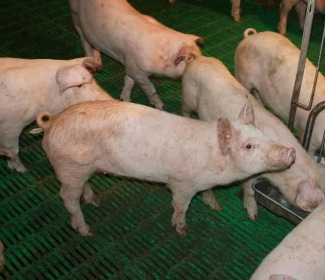 Статьи по ветеринарии свиней на piginfo | формы проявления стрепотококкоза у поросят.