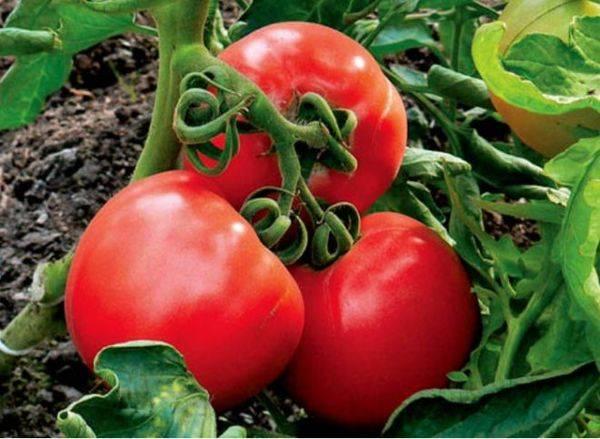Сорт томатов ультраскороспелый: урожай через 50 дней