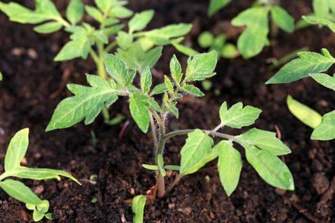 Томат мишка косолапый: характеристика и описание сорта, урожайность, отзывы с фото