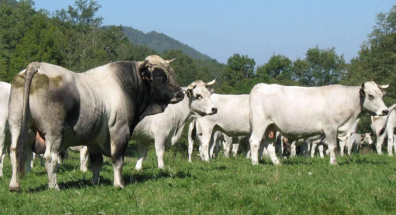 Порода коров шароле - характеристика мясного крс 2020