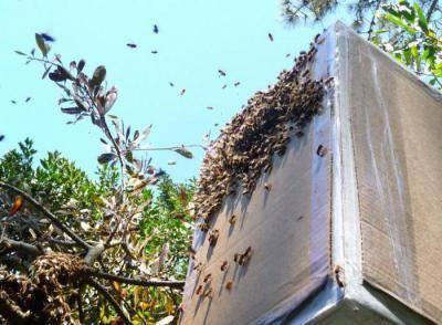 Ловля роя пчел: инвентарь, ценность, размещение ловушек, транспортировка и пересадка