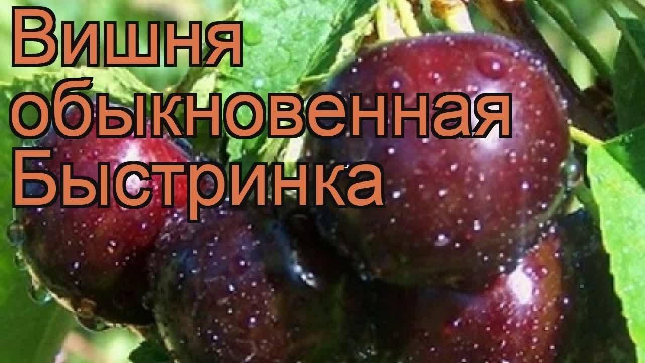 Вишня Быстринка: описание сорта, фото, отзывы садоводов, опылители