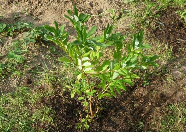 Рододендрон золотистый (кашкара): чем полезен, свойства, выращивание
