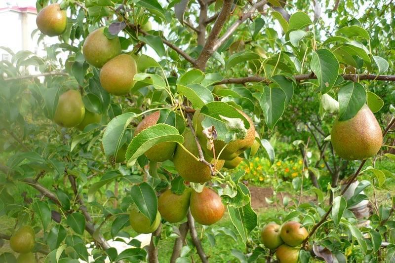 Сорт груши мраморная — вкусный, красивый и урожайный