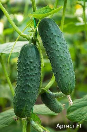 Огурцы эколь: описание сорта, как выращивать и ухаживать