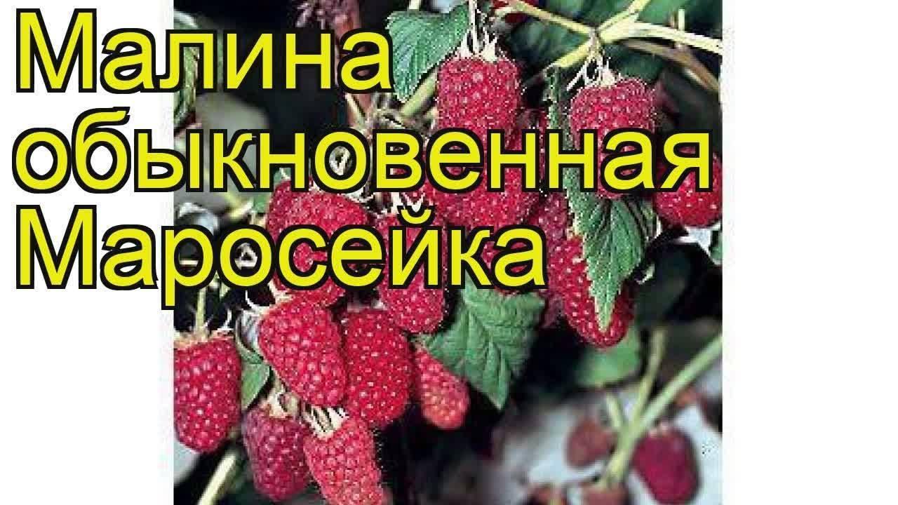Сорт малины маросейка