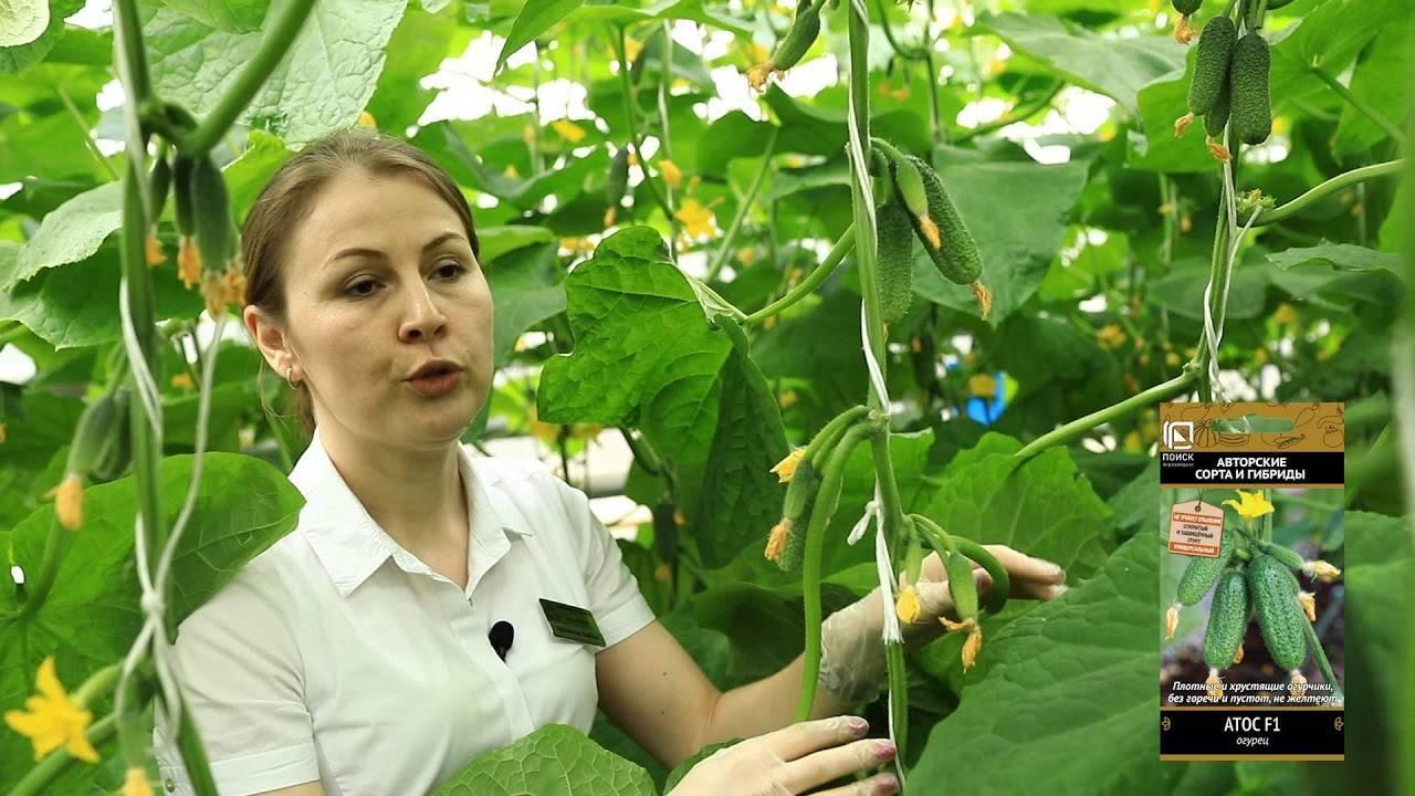Огурцы: когда высаживать рассаду, семена к посеву, почва, температура, пикировка