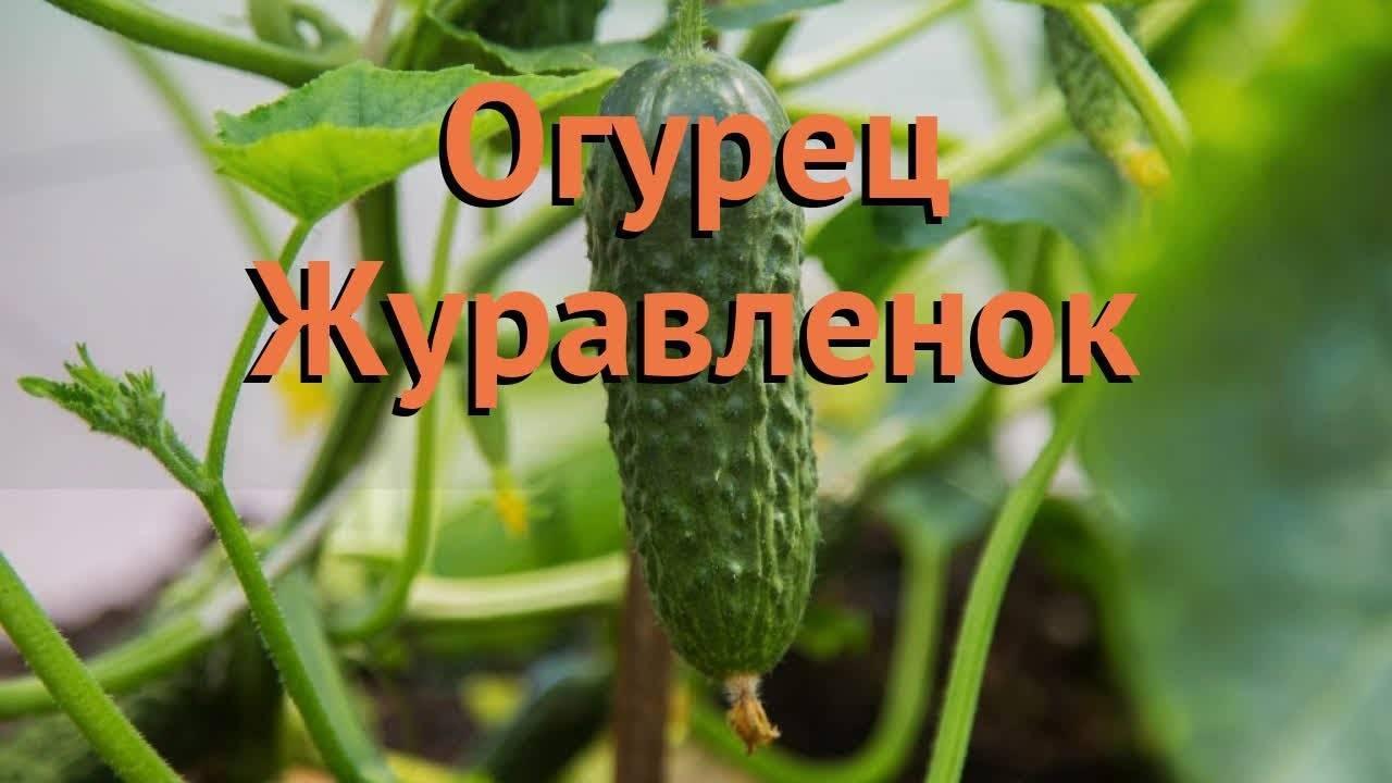 Огурец журавленок f1 — описание и характеристика сорта
