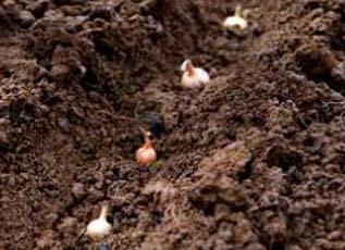 Посадочные дни для лука севка на 2020 год по лунному календарю