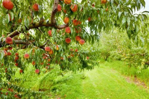 Технология посадки персика — как правильно вырастить дерево из черенка и семечки