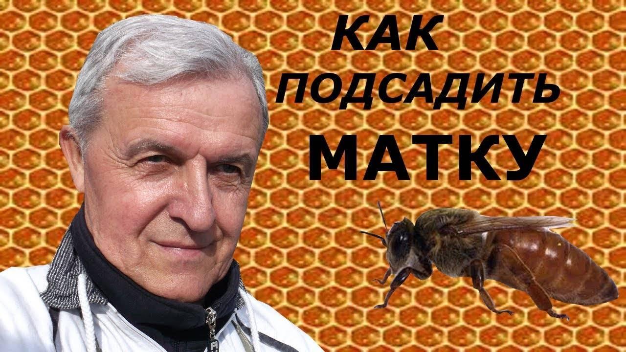 Как подсадить роевой маточник к пчелам