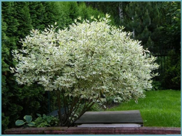 Дерен белый «сибирика» (37 фото): описание, посадка и уход сортов «сибирика вариегата» и «жемчужина сибири»