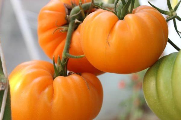Гость на грядке, названный в честь звезды: томат «канопус»