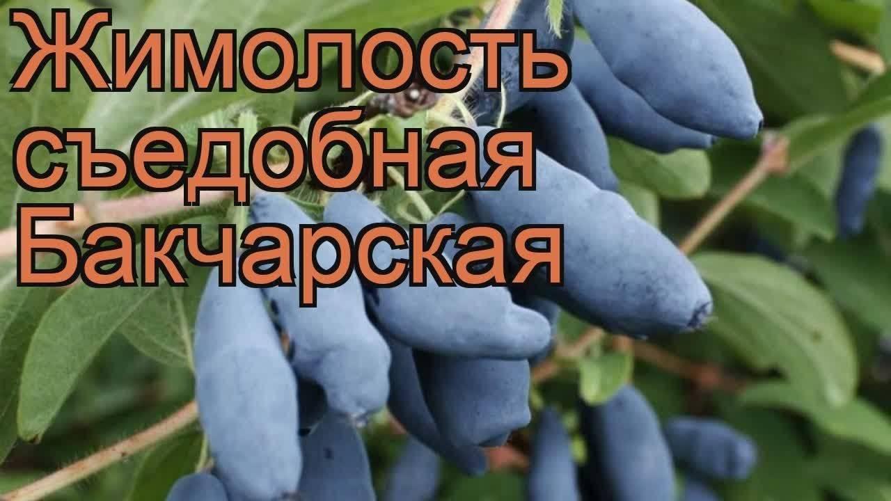 Жимолость бакчарская — характеристики, описание, урожайность