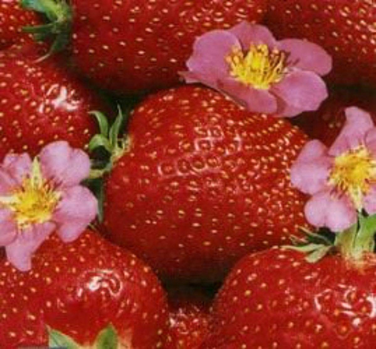 "Томат ""клубничное дерево"": фото и описание, рекомендации по уходу за помидорами"