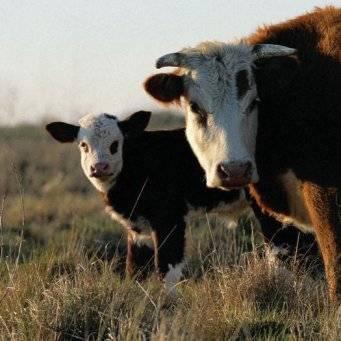Причины появления выделений у коров после отёла