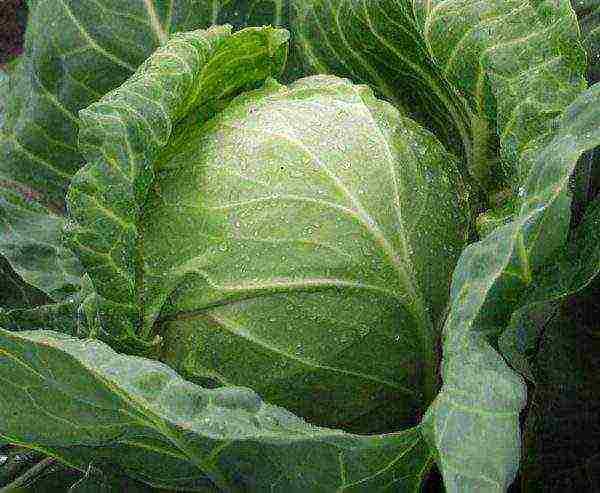 Капуста агрессор f1: характеристика и описание сорта, посадка и выращивание