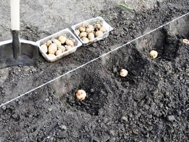 Среднеранний столовый сорт картофеля «айл оф джура»