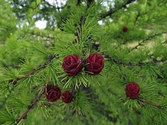 Лиственница: как выглядит дерево и как за ним ухаживать