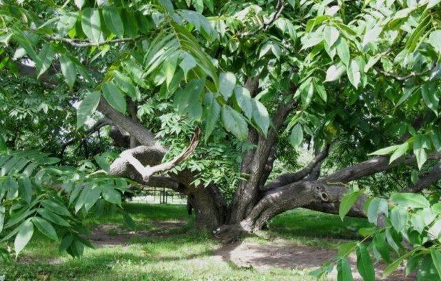 Маньчжурский орех: особенности дерева, посадка и уход