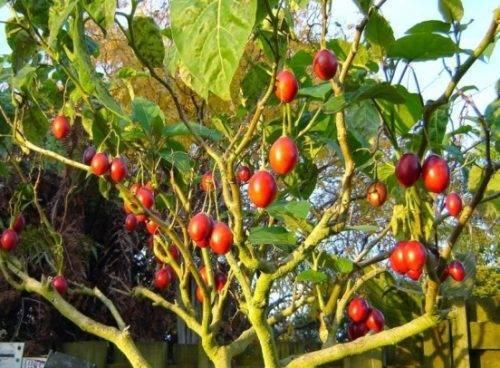 Особенности технологии выращивания помидоров спрут f1 или как вырастить томаты на дереве