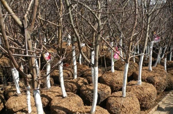 Как и когда лучше сажать яблони в ленинградской области: инструкция для начинающих