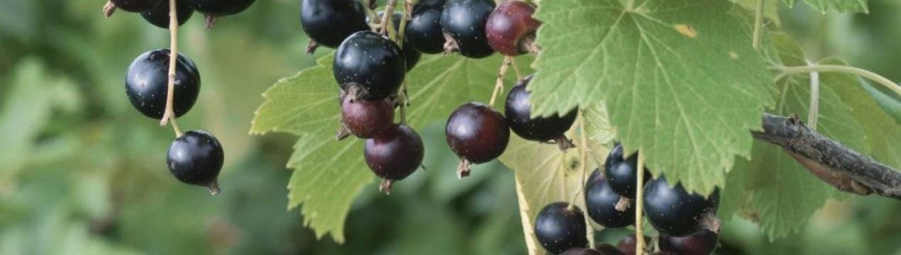 Вкусная и полезная черная смородина сорта «валовая»