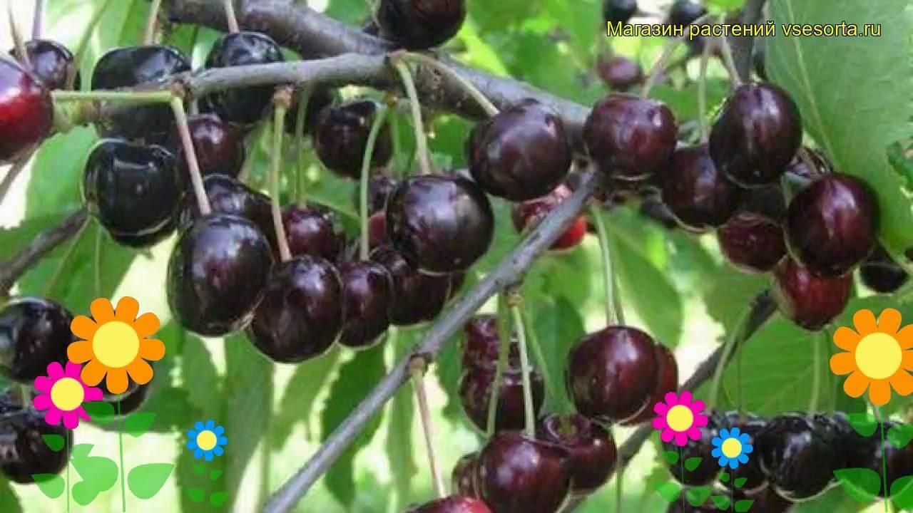 Сорт черешни любимица астахова