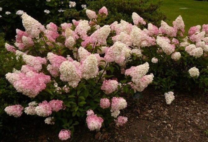 Садовая гортензия: фото и описание, особенности выращивания в открытом грунте