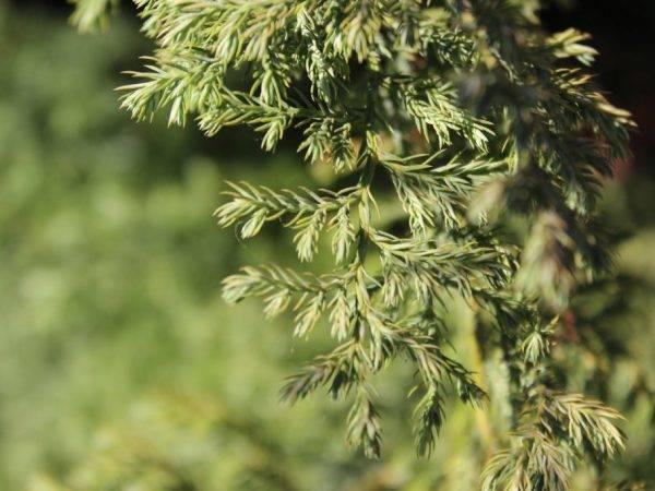 Можжевельник колоновидный: сорта с фото, описание, выращивание