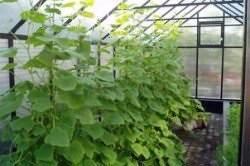 Как вырастить огурцы в теплице из поликарбоната как за ними ухаживать