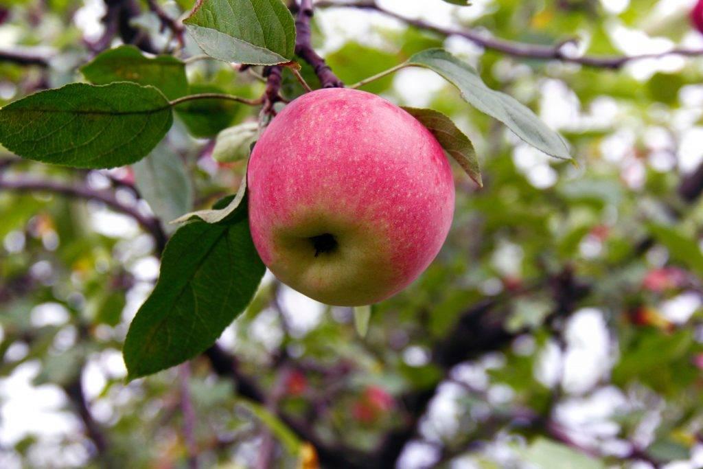 Яблоня «краса свердловска»: описание, фото, отзывы