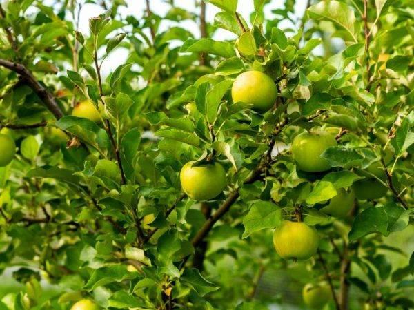 Яблоня анис и ее разновидности