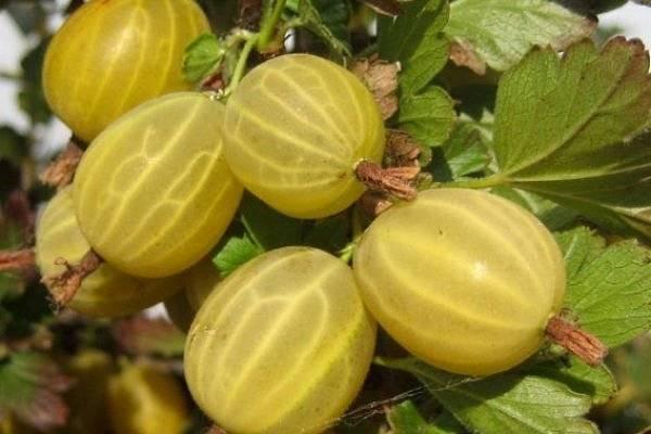 Сорта крыжовника особенности выращивания, русский и медовый описание