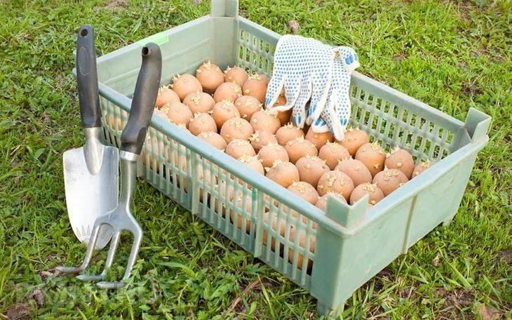 Как подготовить клубни картофеля к посадке: сроки, правила, секреты