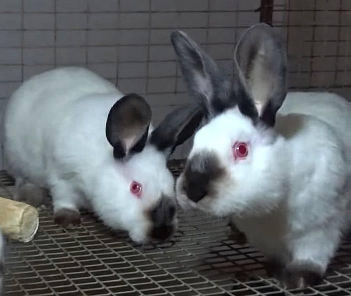 Калифорнийский кролик от а до я