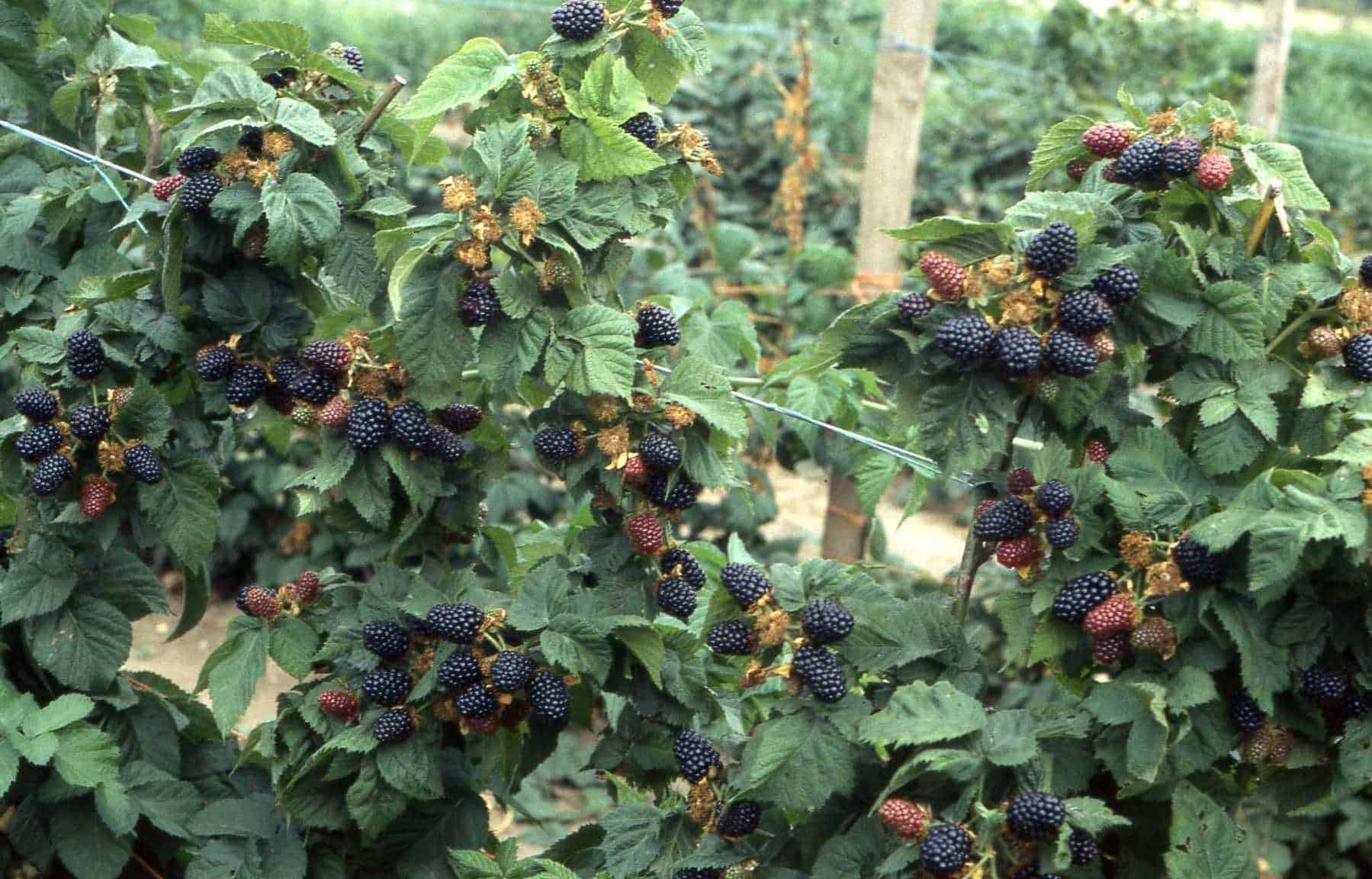 Сорт ежевики агавам — описание, посадка, уход, отзывы