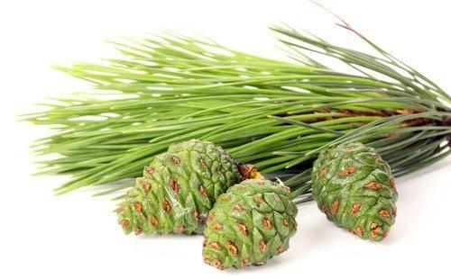 Когда и как собирать сосновые и еловые шишки от инсульта: рецепты народных средств