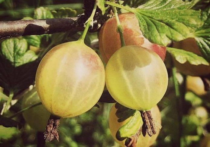 Крыжовник донецкий: характеристика, особенности выращивания и размножения