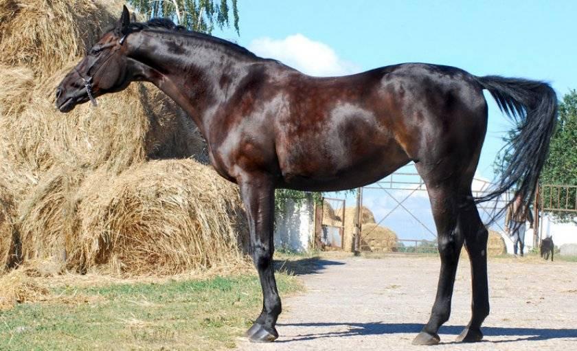 Ганноверская лошадь — википедия переиздание // wiki 2