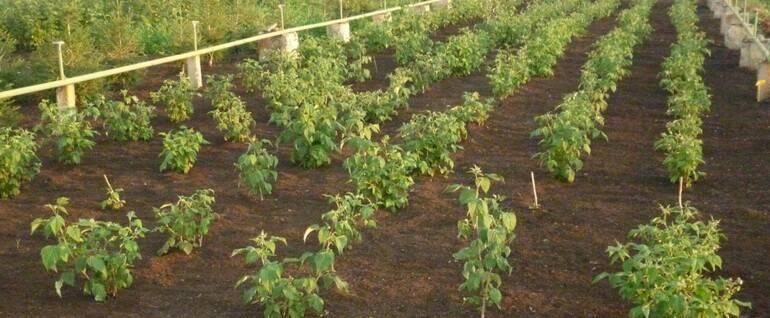 Как посадить правильно малину: особенности и рекомендации