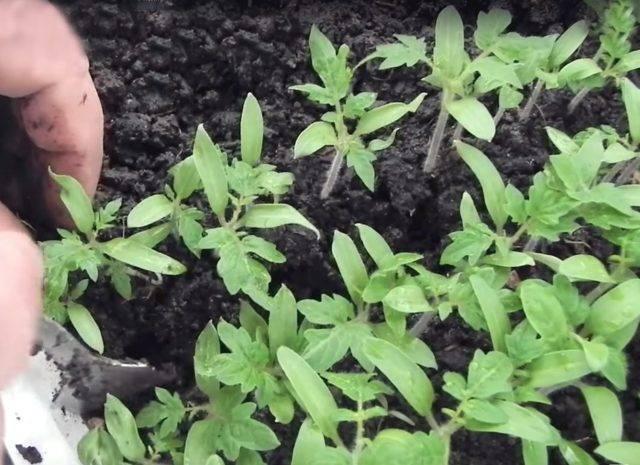 Описание сорта томата альфа и его характеристика